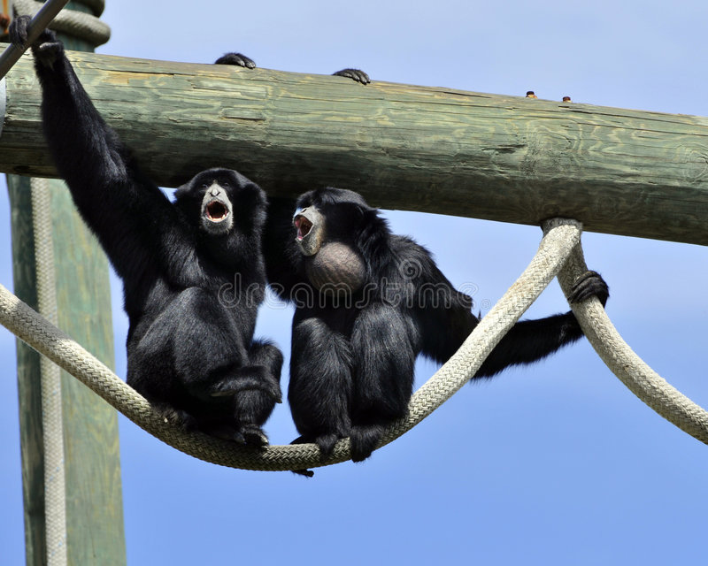 Download Howler Monkeys Howling stock image. Image of mouth, noisy - 5684107
