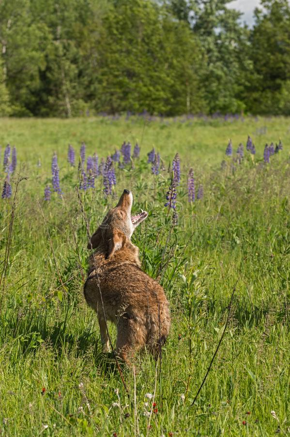 Howling Coyote Canis latrans Lifts Head Over Shoulder. Captive animal royalty free stock photos