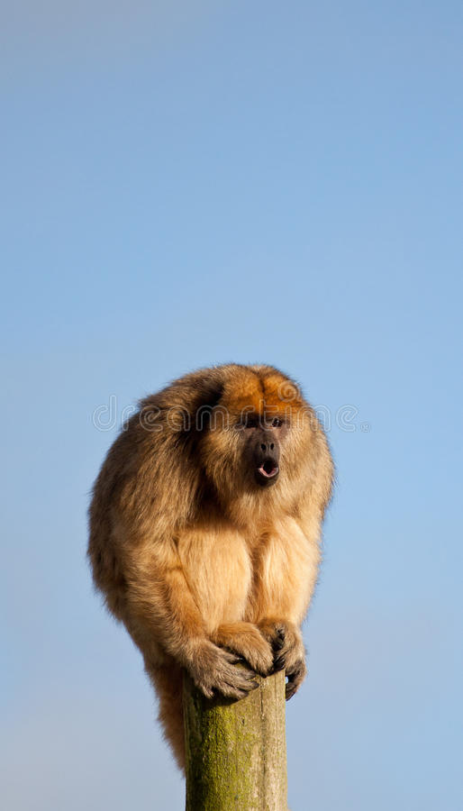 Free Howling Monkey Royalty Free Stock Photography - 17913457