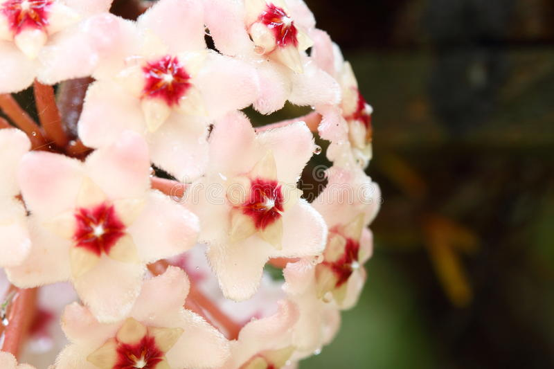 Hoya λουλούδι στοκ εικόνες με δικαίωμα ελεύθερης χρήσης