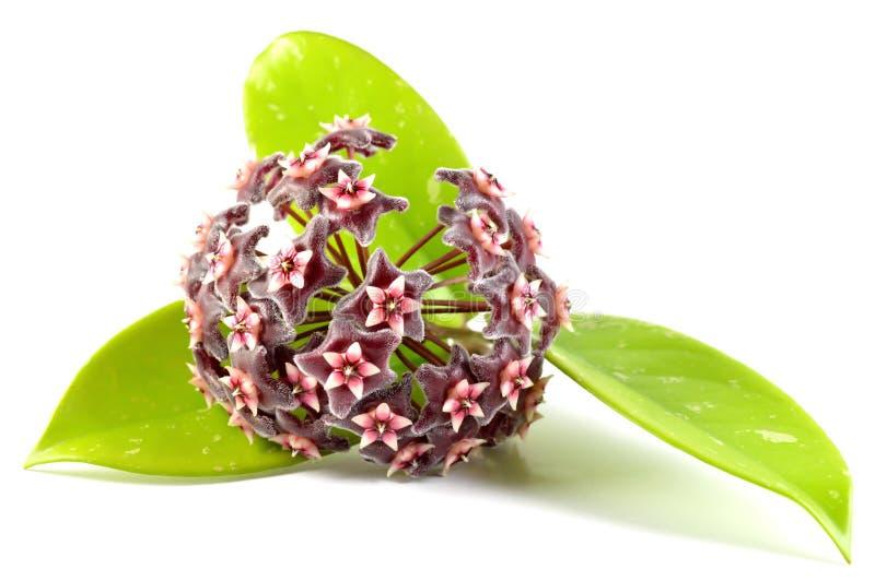 Hoya bloem royalty-vrije stock afbeeldingen