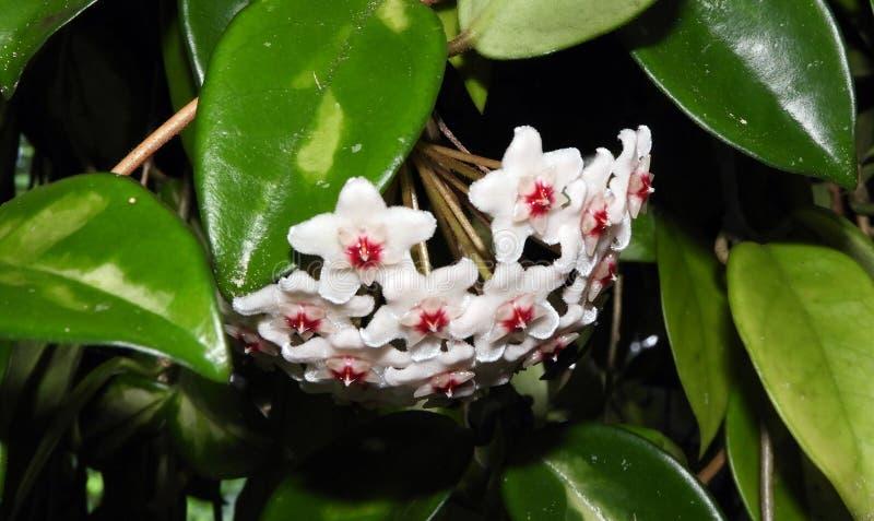 Hoya Carnosa άσπροι οφθαλμοί λουλουδιών κατά τη διάρκεια του καλοκαιριού στοκ εικόνες