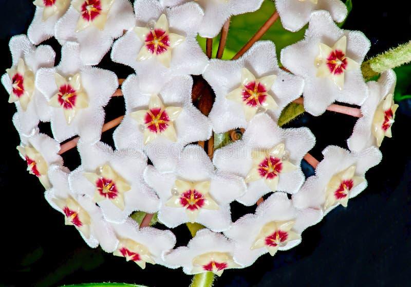 Hoya Carnosa Όμορφο εγχώριο λουλούδι r στοκ εικόνα