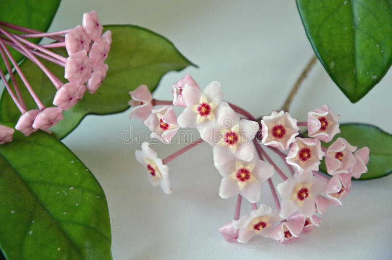 Download Hoya Carnosa - Bloeiende Knoppen - Sluit Omhoog - Italië Stock Foto - Afbeelding bestaande uit mooi, installatie: 54092278