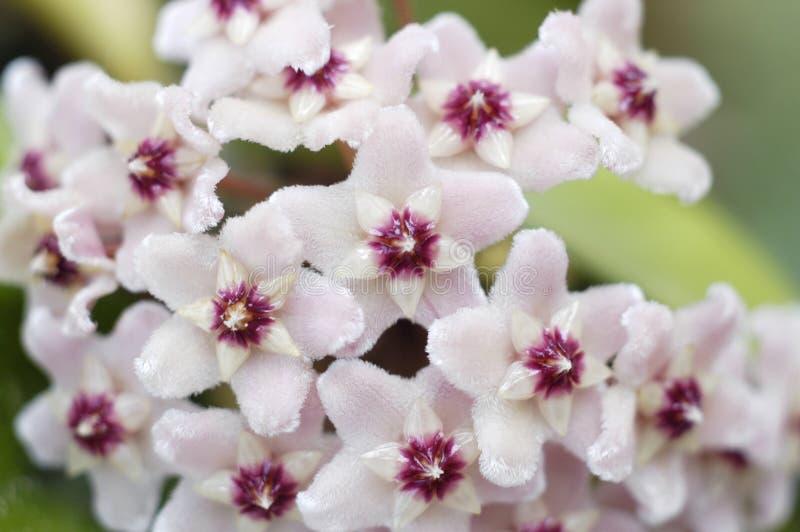 Hoya Carnosa Bloemen royalty-vrije stock afbeelding