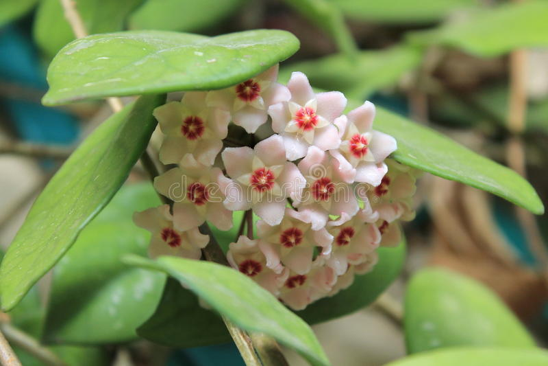 Hoya carnosa - Flowering branches - Close up - Italy stock image