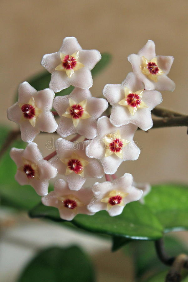 Hoya carnosa - Flowers - Close up - Italy royalty free stock images