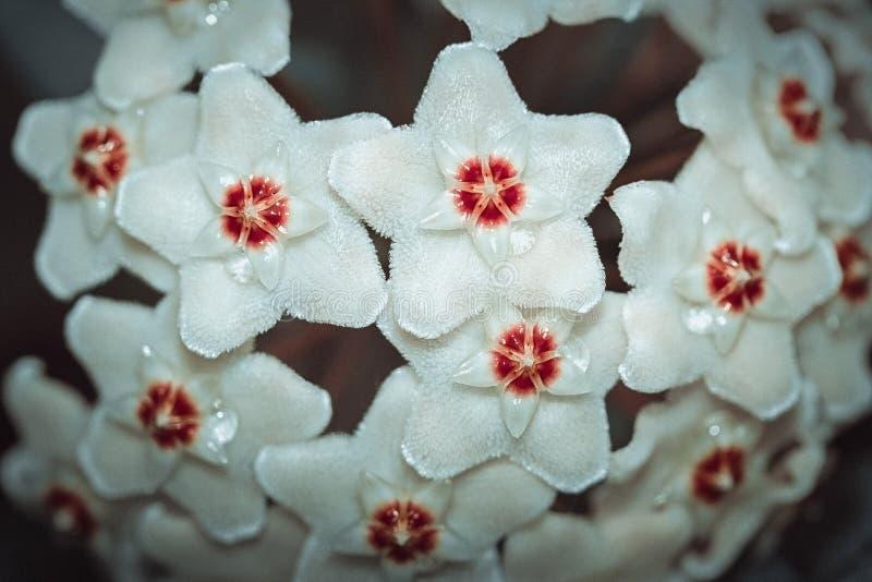 Hoya-carnosa, Porcelainflower, waxplant Nahaufnahme Weiße flaumige Blume mit einer roten Mitte wie einem Stern lizenzfreie stockfotografie