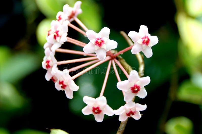 Hoya carnosa, vaxväxt arkivbild