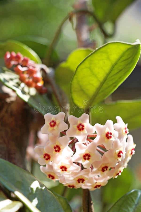 Free Hoya Flower Blossom Royalty Free Stock Photos - 93669498