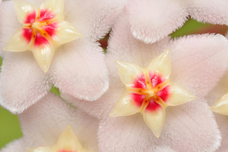 Hoya Flowers stock photos