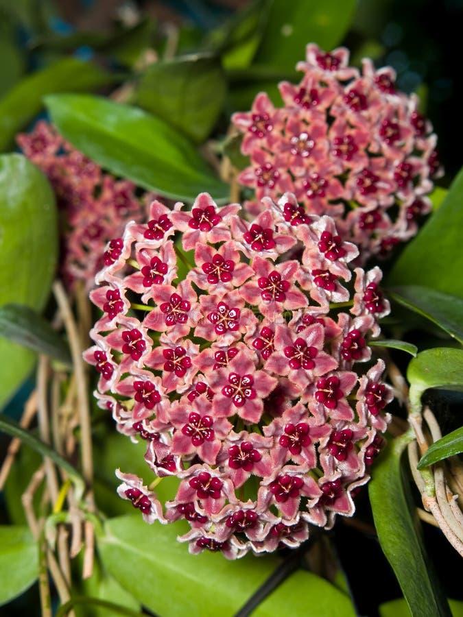 hoya globulifera stock image image of plant blooming 14828571. Black Bedroom Furniture Sets. Home Design Ideas