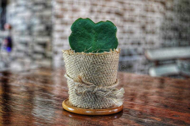 Hoya-Kaktusherz stockfotos