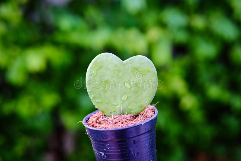 Hoya Kerrii, the thick leaves of heart-shaped stock photos