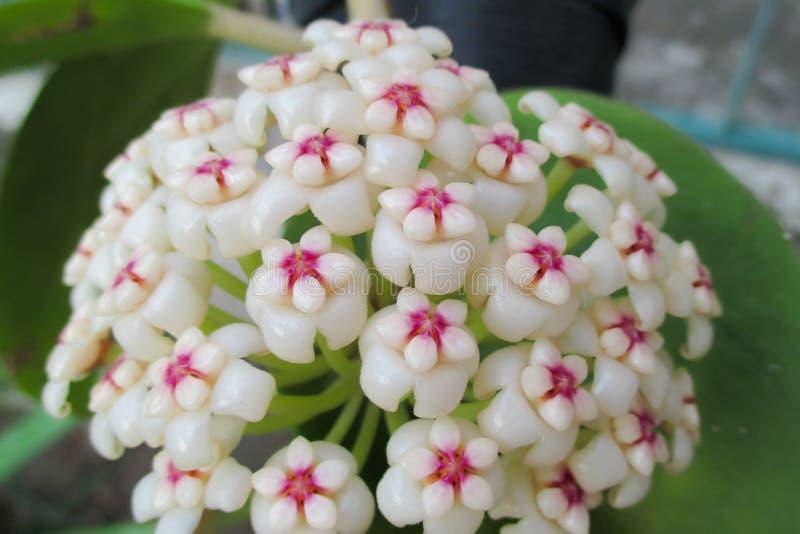 Hoya Pachyclada, the exotic flower. stock image
