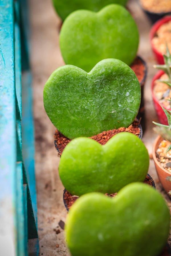 Hoya verde alinhado Kerrii, Afortunado-coração, querido ou Valentim imagens de stock
