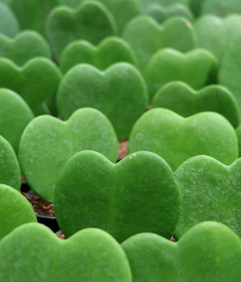 Hoya verde alinhado Kerrii ou plantas do Afortunado-coração fotos de stock royalty free