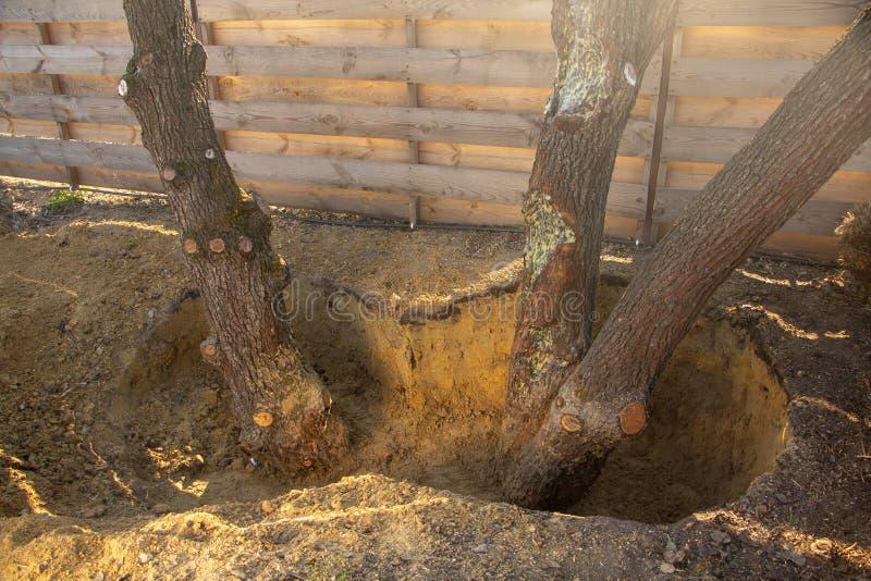 Hoyo protector alrededor del árbol, para no llenar el cuello de la raíz, que puede llevar a la muerte de ajardinar de la planta imagen de archivo