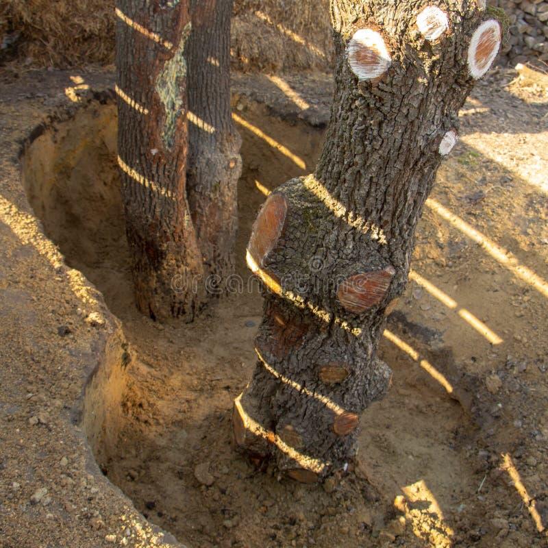 Hoyo protector alrededor del árbol, para no llenar el cuello de la raíz, que puede llevar a la muerte de ajardinar de la planta imagen de archivo libre de regalías