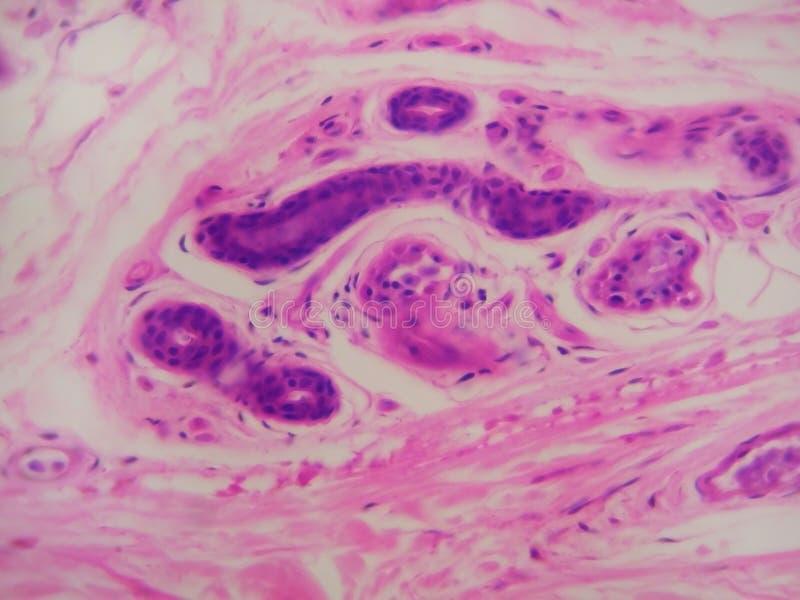 HP de glande sudorale photos libres de droits