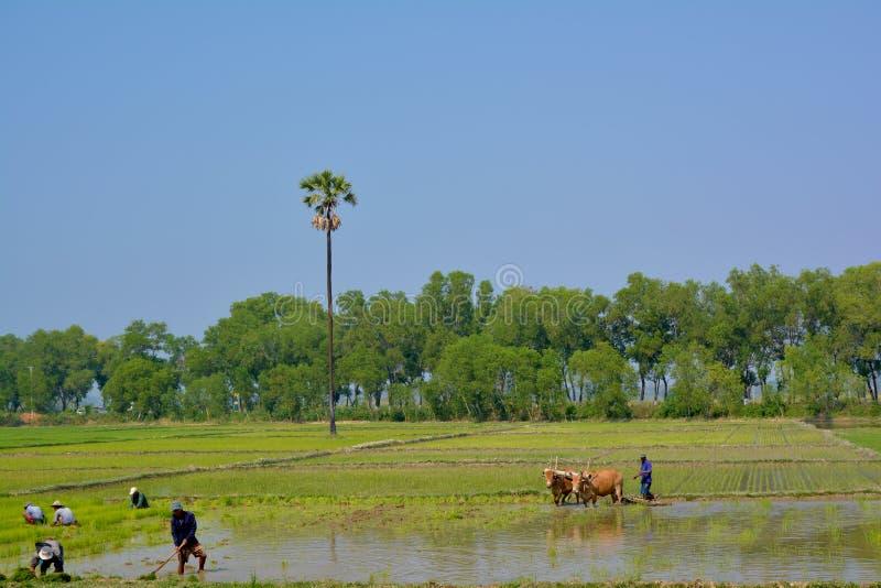 HPA-AN, MYANMAR - 10 02 2016 birmańczyków rolnicy zasadza ryż flance obraz royalty free