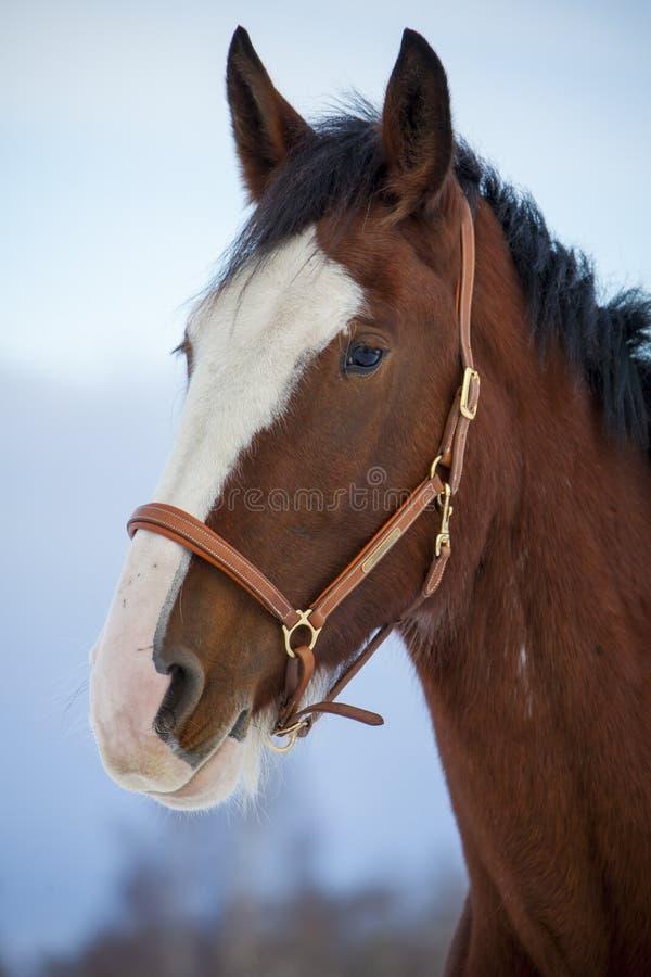 Hrabstwo koń w zimie zdjęcia stock