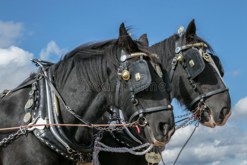 Hrabstwo koni głowy przy przedstawieniem zdjęcie royalty free