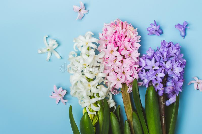 Hree multicolored flowering hyacinth flowers on a blue background. Springtime concept stock photos