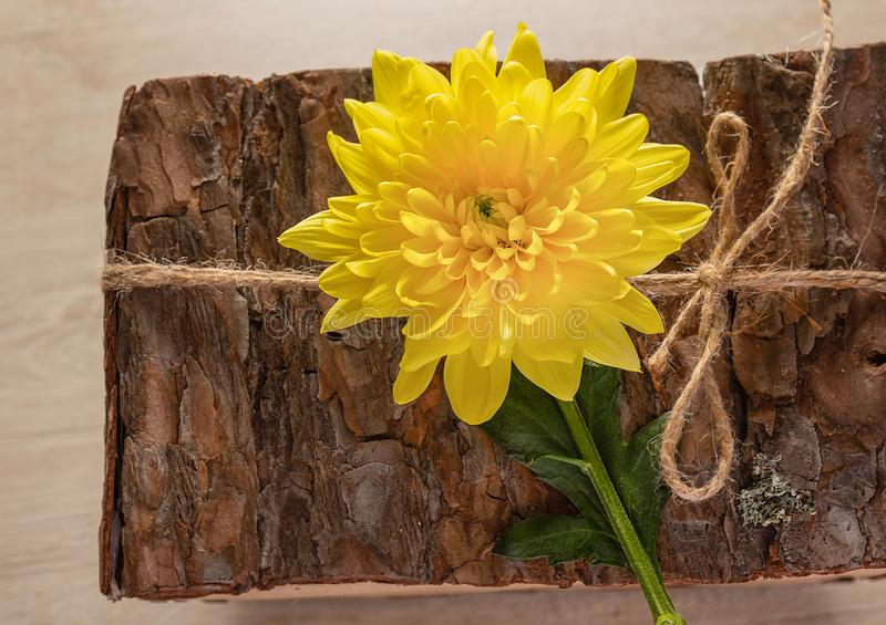Hrikhzantemy gul blomma, mullbärsträdkrysantemum mot bakgrundsskället av ett träd med juterepet royaltyfria foton