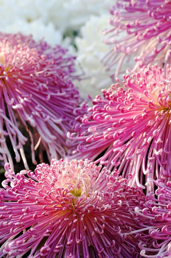 Hrysanthemum Chino Imagenes de archivo