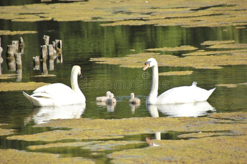 HSmall young swan children explore the area. The parents are careful that nothing happens stock photo