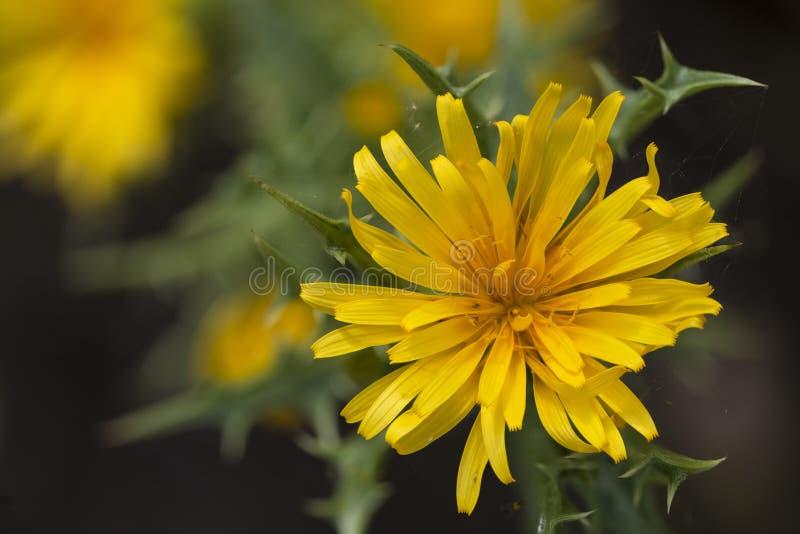 Huître-chardon espagnol ou le hispanicus commun de Colymus de chardon d'or photo stock