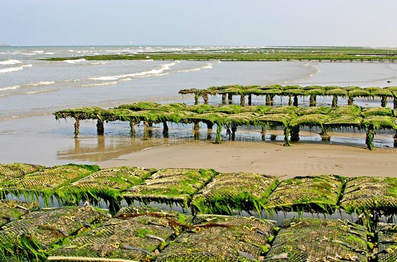 Huître-culture en Les Dunes de Varreville photo libre de droits