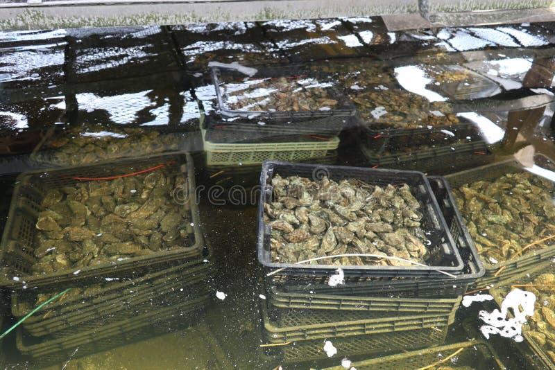 Huîtres en leurs bassins de l'eau de mer devant l'expédition sur le bassin d'Arcachon image libre de droits