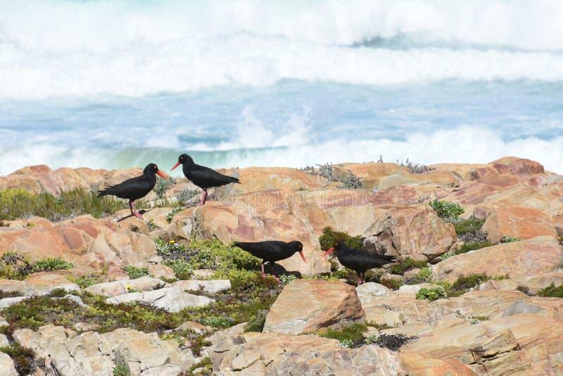 Huîtrier africain - réserve naturelle de péninsule de Robberg, Afrique du Sud image libre de droits