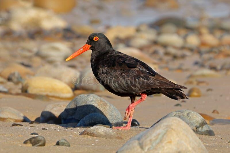 Huîtrier noir africain sur la plage image stock