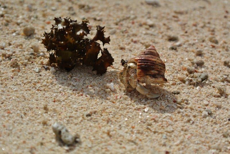 Huahine, eremitkrabba och havsväxt på stranden arkivfoto