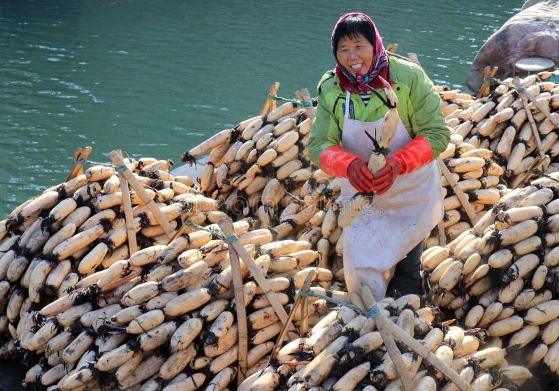 Huai ', jiangsu, China: de ontwikkeling van lotusbloemwortel die landbouwers planten te helpen inkomen verhogen stock foto's