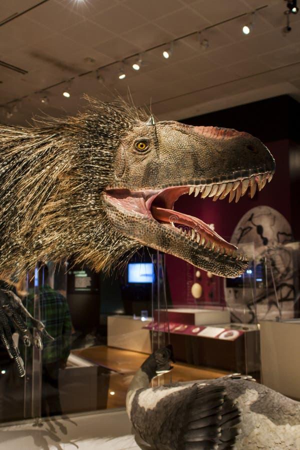 Huali de Yutyrannus en museo americano de la historia natural fotos de archivo