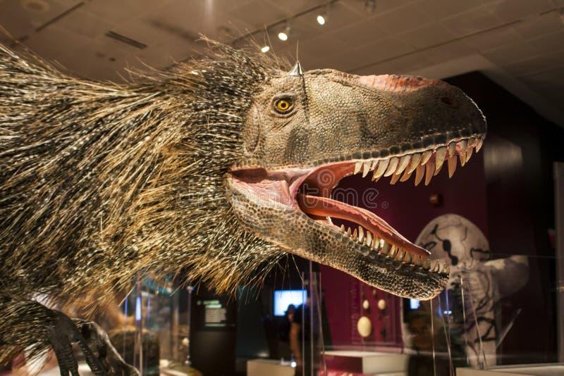 Huali de Yutyrannus en museo americano de la historia natural imagen de archivo