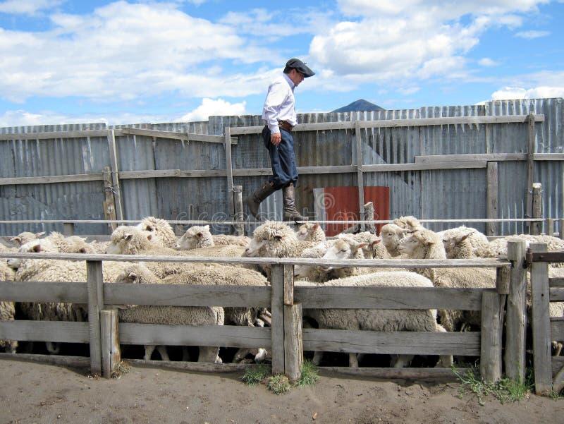 Huaso - Gaucho floating sheep on Sheep Farm - Chile. Huaso - Gaucho together floating sheep in fencing on Sheep Farm - estancia in Chile - Patagonia stock photo