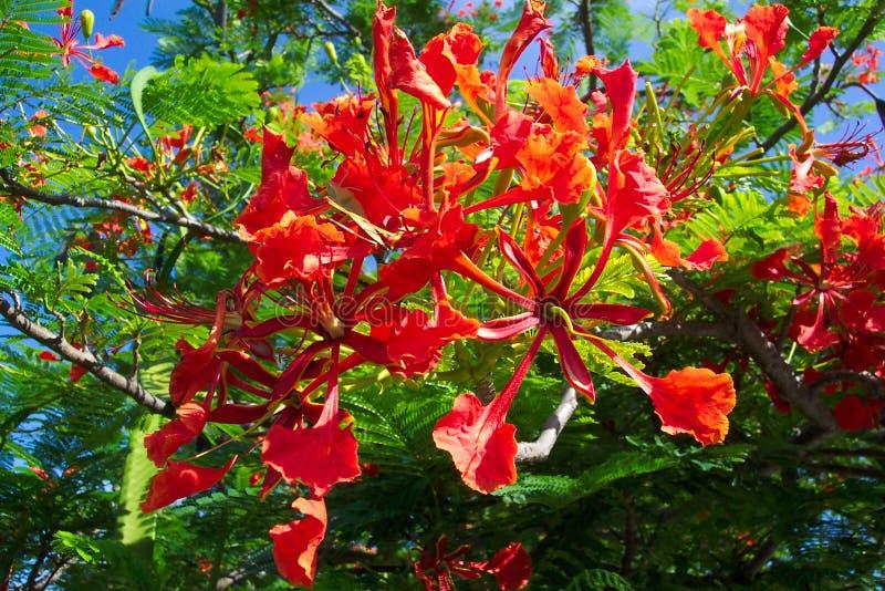 huatulco兰花楹属植物墨西哥 库存图片