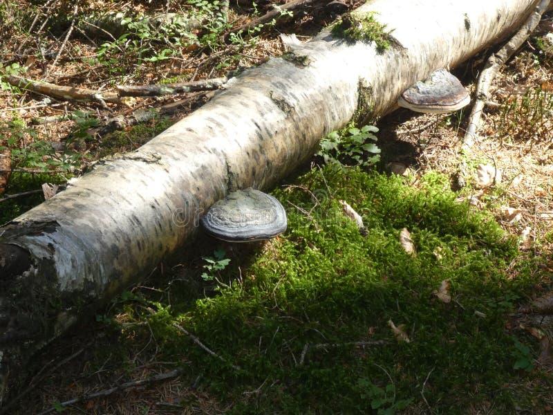 Huba grzyba pieczarki biel r na bagażniku brzozy drzewa zdjęcia royalty free