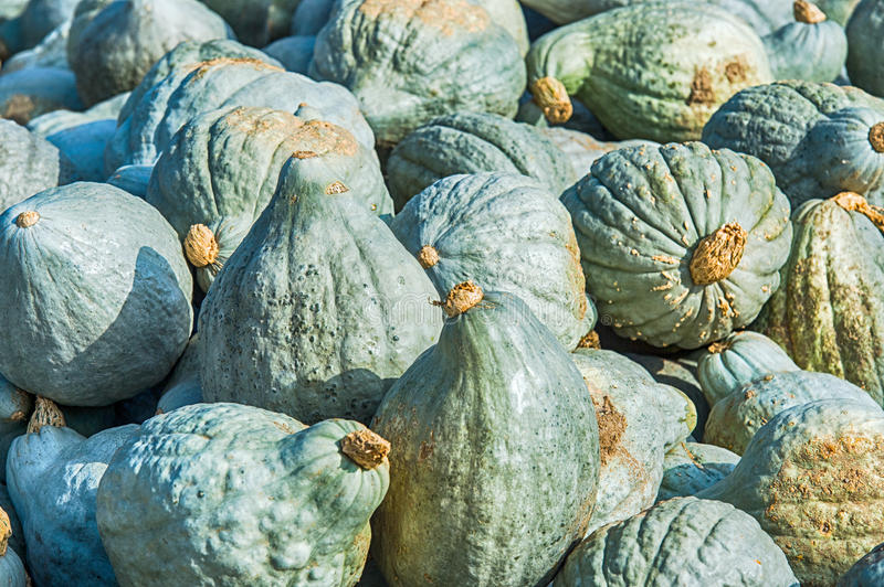 Hubbard squashes. Stack of just collected hubbard squashes stock image