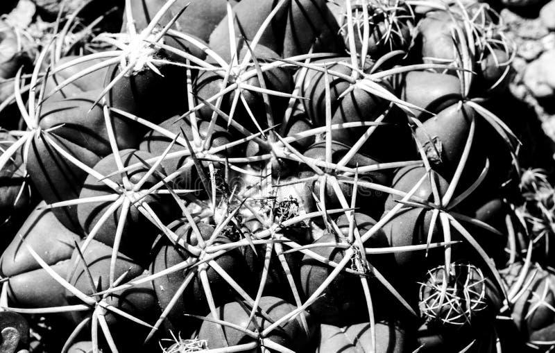 Huber`s Chin Cactus royalty free stock photos