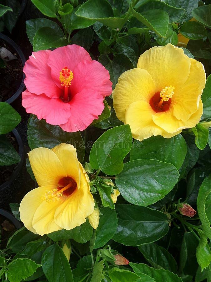 Hubicus för rosa färgang-guling blomma arkivfoton