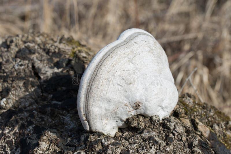 Hubka grzyb lub fałszywy hubka grzyb na drzewie zdjęcia royalty free