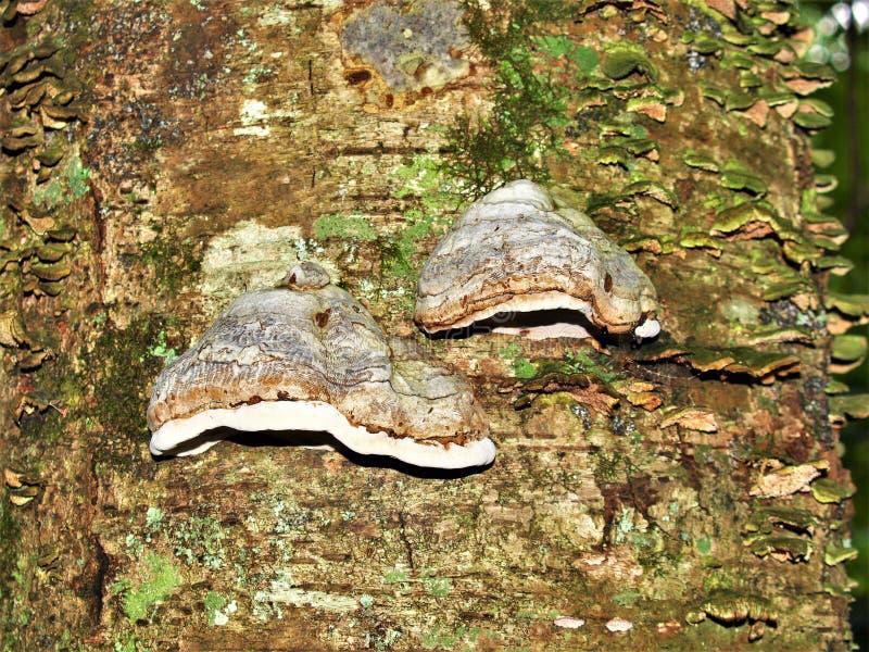 Hubki Conk dorośnięcie na Nieżywym drzewie obraz stock