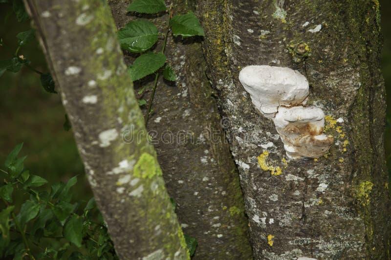 Hubki grzybowy dorośnięcie na barkentynie drzewo fotografia stock