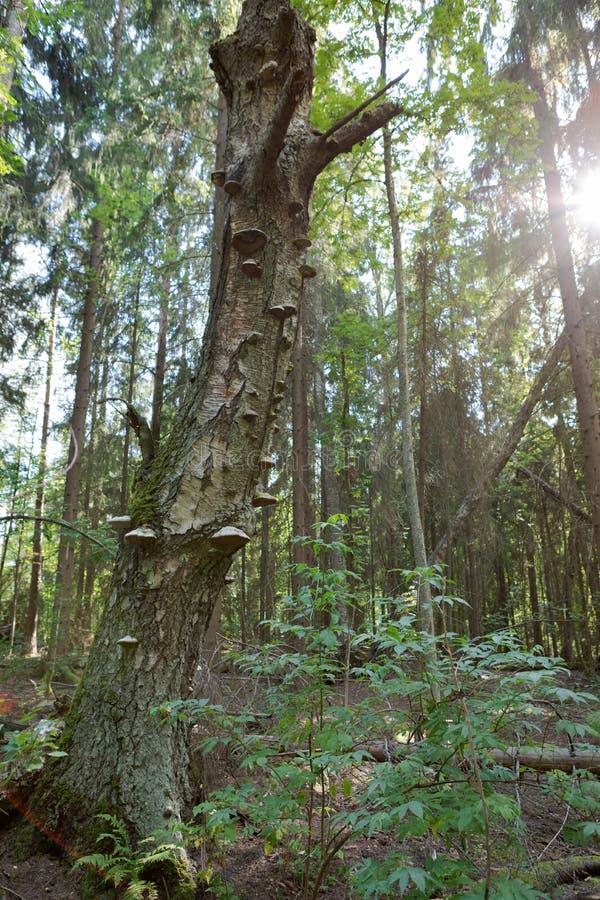 Huby brzozy zbutwiały drzewny bagażnik obraz stock